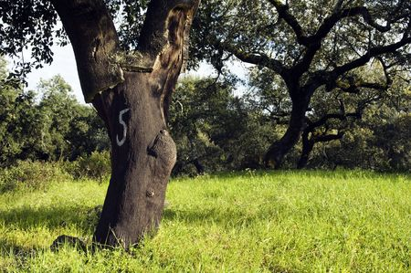 quercus: Cork trees (Quercus suber) in the south of Portugal Stock Photo