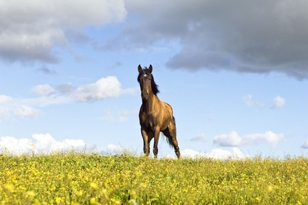 Beautiful young chestnut horse standing in a field of yellow flowers photo