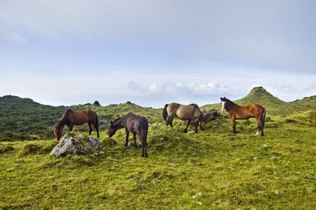 Horses grazing free in a green pasture landscape of Pico island, Azores, Portugal