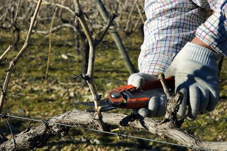 A closeup view of a worker pruning dormant grapevines in a vineyard. Standard-Bild