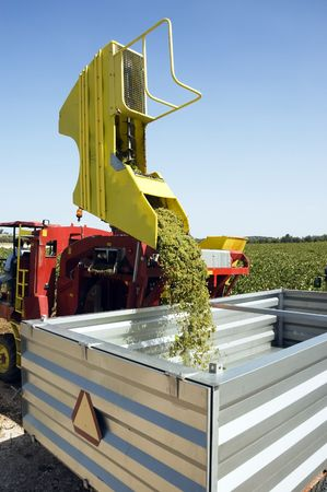 Harvesting machinery in vineyard pouring grapes into metal container