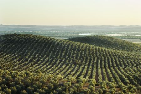 olive farm: Extensive olive grove in the plains of Alentejo, Portugal