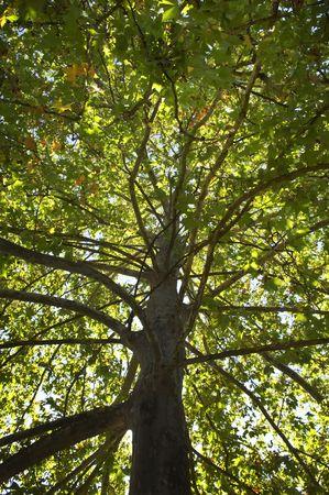 sicomoro: Bright dettaglio di un gigante sicomoro treetop