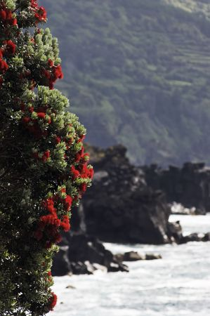 gale: Sweet gale or Bog Myrtle (Myrica gale) blossoming in the coast of Azores islands