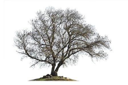 excelsior: Leafless ash-tree (Fraxinus excelsior) in the winter season isolated on white