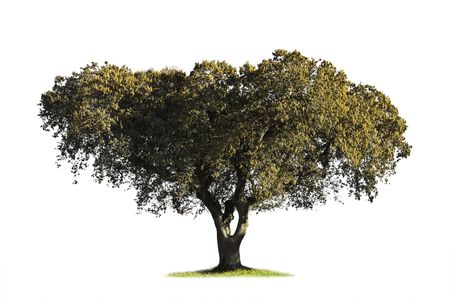 Holm oak (Quercus ilex) in the blooming season showing catkins isolated on white