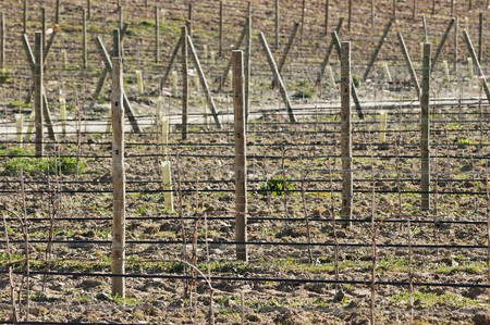 portugal agriculture: New vineyards with  training and irrigation system,  Alentejo, Portugal