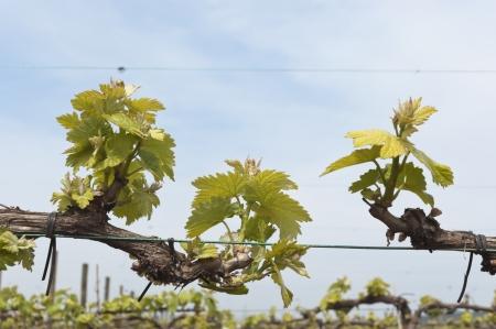trellis: Spring bud break in the vineyards of Borba, Alentejo, Portugal Stock Photo