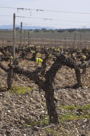 Spring bud break in the vineyards of Borba, Alentejo, Portugal Stock Photo