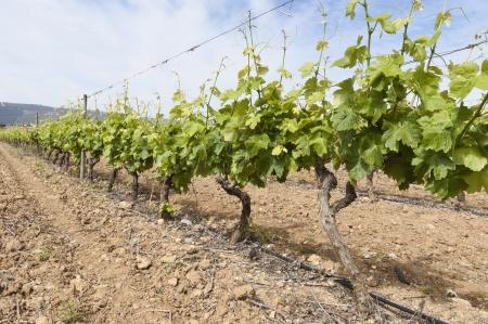 irrigation field: Vineyard in the fruit set season, Borba, Alentejo, Portugal Stock Photo