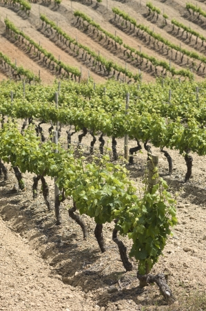 terroir: Vineyard in the fruit set season, Borba, Alentejo, Portugal Stock Photo