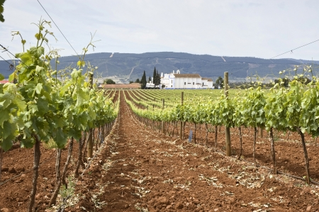 flowering field: Vineyard in the fruit set season, Borba, Alentejo, Portugal Stock Photo