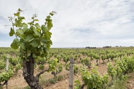 terroir: Old vines in the flowering season, Borba, Alentejo, Portugal
