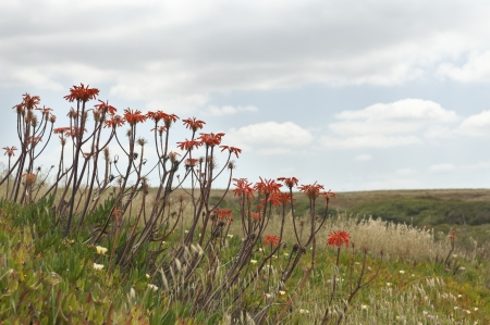 exotics: Blooming Aloe - Aloe vera - and Ice plant - Carpobrotus edulis - exotics invading the wild portuguese coast Stock Photo