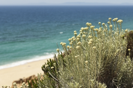 Curry plant -  Helichrysum italicum subsp. picardii - in the sandstone cliffs of Gale beach, south of Portugal