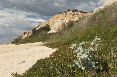 invasive plant: Sea holly - Eryngium maritimum - surrounded by invasive ice plant, dunes of Gale beach, Comporta, Portugal