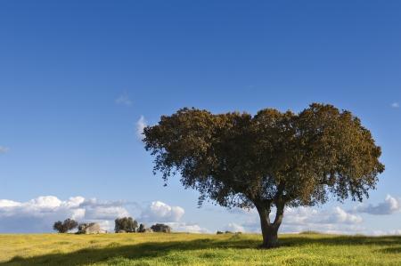 quercus: Holm oak - Quercus ilex - in the fields of Alentejo, Portugal