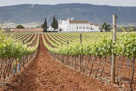 Vineyard in the fruit set season, Borba, Alentejo, Portugal Standard-Bild