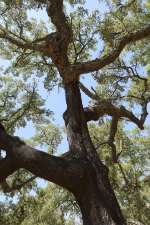 woodsy: Forest of cork trees - quercus suber - Alentejo, Portugal Stock Photo