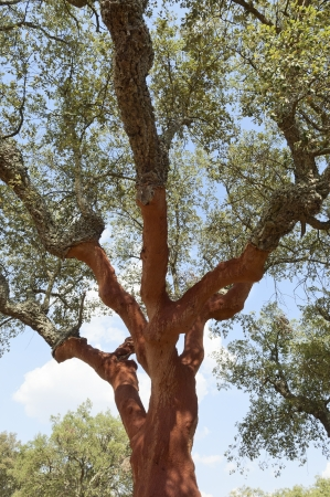 Cork trees - quercus suber - recently stripped, Alentejo, Portugal