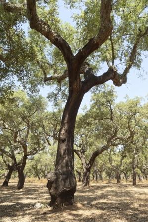 quercus: Forest of cork trees - quercus suber - Alentejo, Portugal Stock Photo
