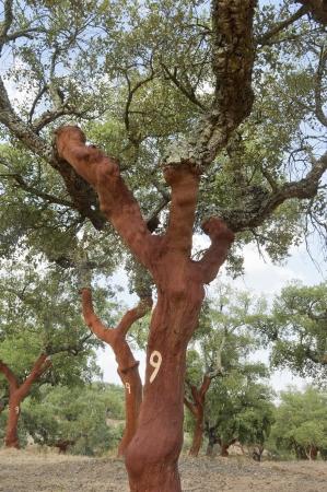 quercus: Cork trees - quercus suber - recently stripped, Alentejo, Portugal