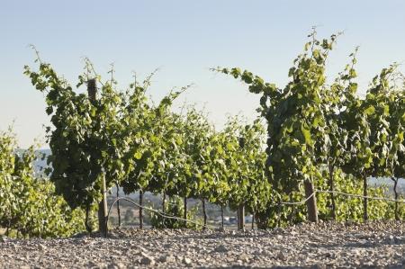trellis: Vineyard in the fruit set season, Borba, Alentejo, Portugal Stock Photo