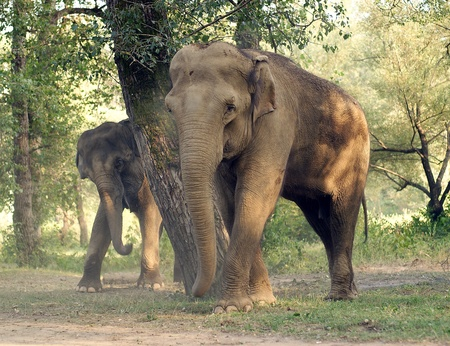 tusks, wild, safari, large, ears, Africa, trunk., nature, its, Elephant, India