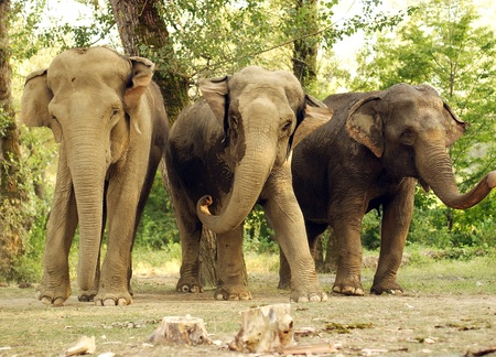 tusks, wild, safari, large, ears, Africa, trunk., nature, its, Elephant, India photo
