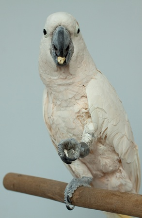 cockatoos: Photo of white beautiful parrot