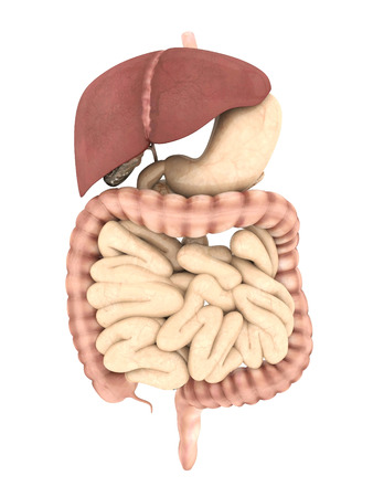 model of the digestive system Stock Photo