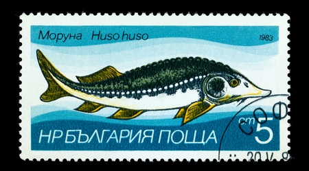 sturgeon: BULGARIA - CIRCA 1983: A Stamp printed in BULGARIA shows image of a Sturgeon with the description Huso huso from the series Fresh-water Fish, circa 1983