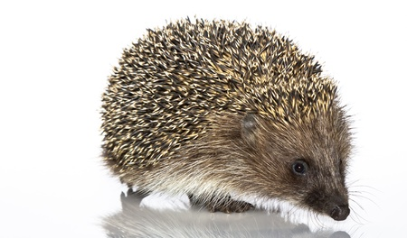 A young hedgehog, about a year. In  front of white background photo