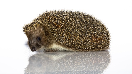 four species: A young hedgehog, about a year. In  front of white background