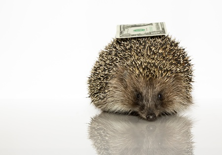 Young hedgehog with dollar, about a year. In  front of white background photo