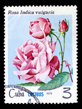 CUBA - CIRCA 1979: A stamp printed in Cuba shows chinese tea rose, series, circa 1979 photo