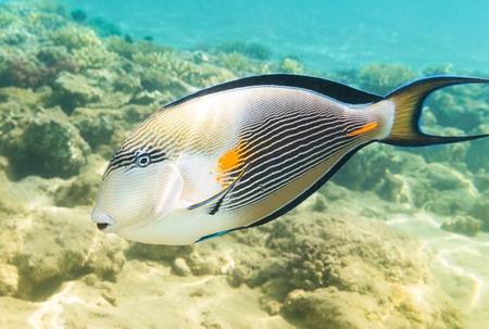 acanthurus: Sohal surgeon-fish at the Red Sea. Egypt