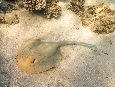 blue spotted: Blue Spotted stingray. Marine Life in the Red Sea. Egypt Stock Photo