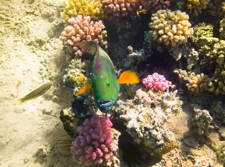 Parrot fish. Marine Life in the Red Sea. Egypt Stock Photo