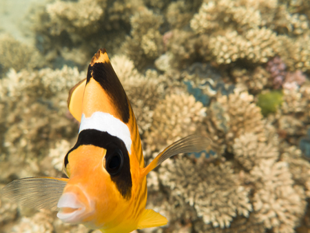 Fish-butterfly. Marine Life in the Red Sea. Egypt Stock Photo