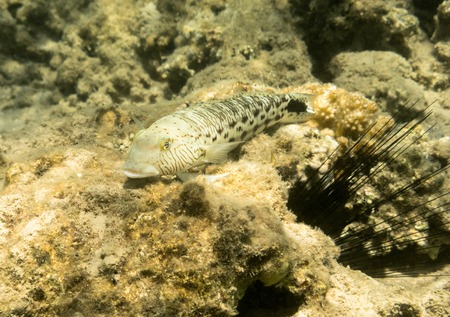 acanthurus: Fish. Marine Life in the Red Sea. Egypt Stock Photo