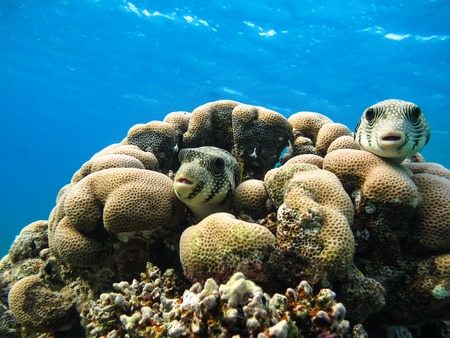 Two starry puffer (Arothron stellatus) fish. Marine Life in the Red Sea. Egypt Stock Photo