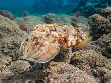 acanthurus: Pharao cuttlefish or Sepia pharaonis. Marine Life in the Red Sea. Egypt