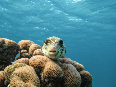 acanthurus: Starry puffer.Arothron stellatus fish. Marine Life in the Red Sea. Egypt Stock Photo