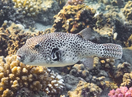 Puffer Fish. Marine Life in the Red Sea. Egypt Stock Photo