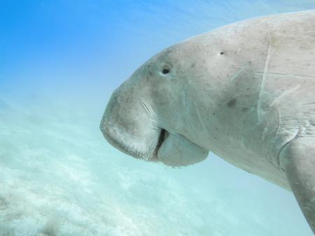 Dugong dugon. The sea cow. Red Sea Stock Photo