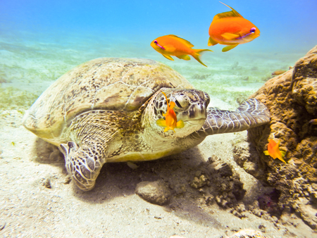 red sea: Green sea turtle. Marine Life in the Red Sea. Egypt