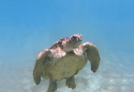 red sea: Green sea turtle swimming underwater Red Sea. Egypt Stock Photo