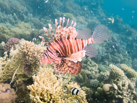 Pterois volitans, Lionfish on coral reef. Red Sea. Egypt Stock Photo