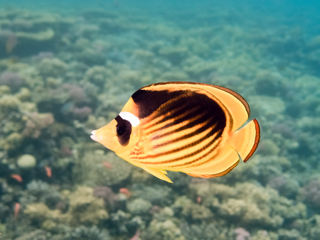 Fish. Marine Life in the Red Sea. Egypt Stock Photo